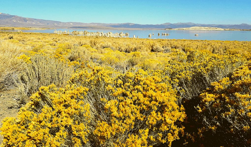 Mono Lake gele bloemen zoutmeer