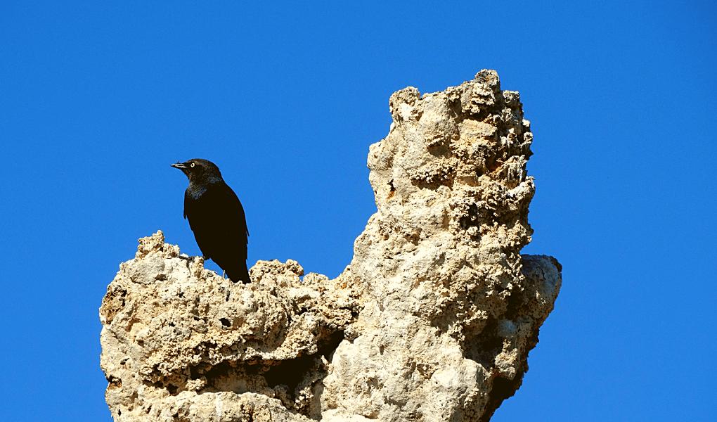 Mono lake vogel op tufa