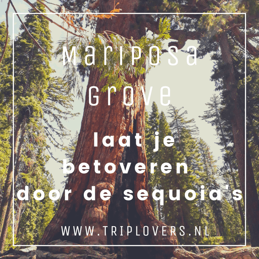 Mariposa sequoia's